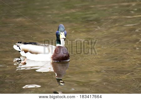 A mallard duck looks right at the photographer and opens its beak and quacks