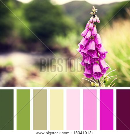 Foxglove flower in Snowdonia National Park, with intentional shallow depth of field and retro style processing In a colour palette with complimentary colour swatches.