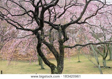 Cherry Blossoms In Sakura No Sato, Izu, Shizuoka, Japan (rainy)