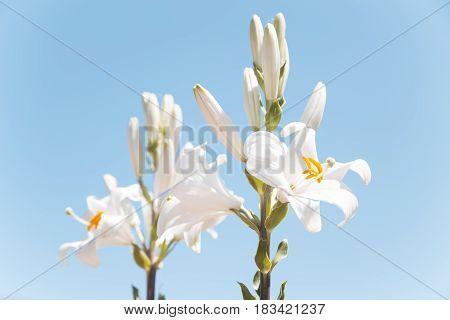 Tho beautiful white lilies over a blue sky