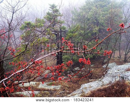 The granite bedrock evergreens and red maple branch looked lovely despite the rain.