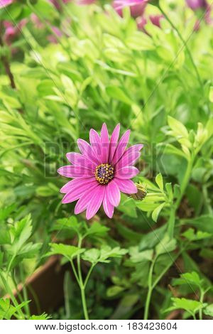 The Chrysanthemum is blooming which means young and active and everything is growing in the spring