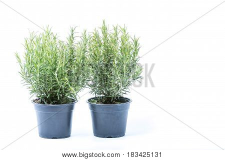 Two Small Trees Of Rosemary In Black Plastic Pots Isolated On White Background