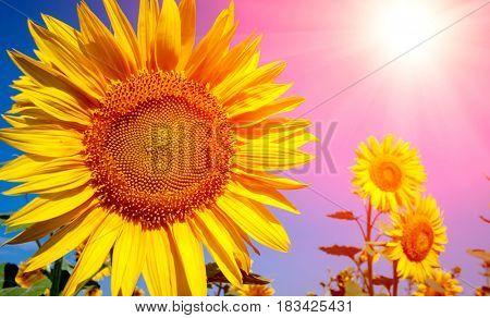 Summer sunflowers on sunny meadow