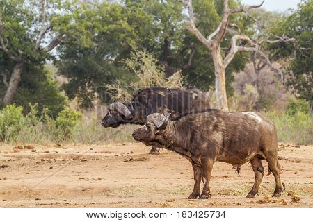 African buffalo in Kruger national park, South African ; Specie Syncerus caffer family of Bovidae