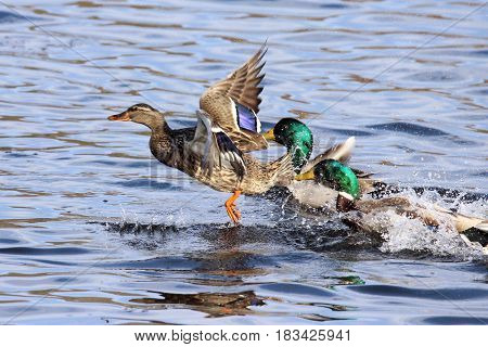 Two male mallard ducks chase a female duck in an attempt to mate with her