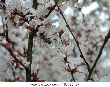 Nanking cherry Prunus tomentosa Korean cherry Manchu cherry downy cherry Chinese cherry Chinese cherry Chinese cherry Chinese dwarf cherry white flowers on the branches. Honey plants