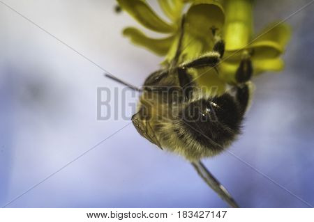 bee on the yellow flower with blue sky background macro photo in spring
