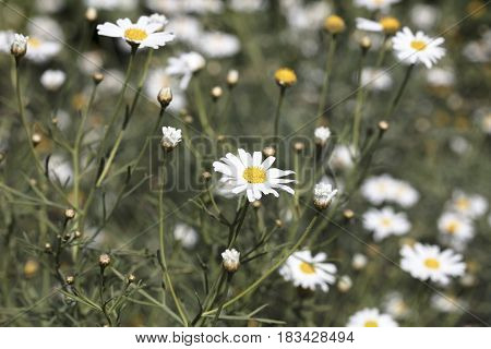 Field of white daisies at the coast in San Diego California