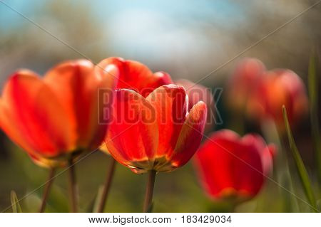 red tulip with blur background and green grass in spring