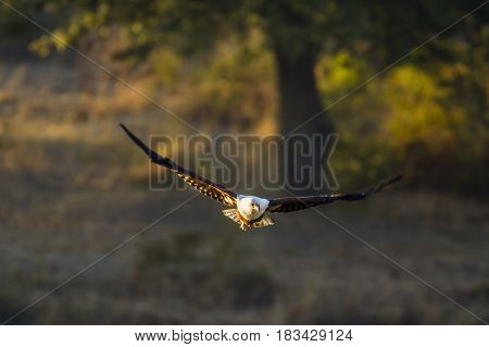 African fish eagle in Kruger national park, South African ; Specie Haliaeetus vocifer family of Accipitridae