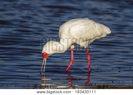 African spoonbill in Kruger national park, South African ; Specie Platalea alba family of Threskiornithidae