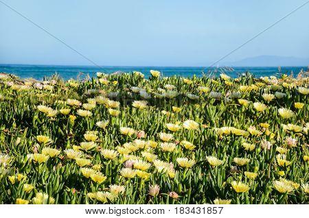 Yellow flowers on the beach near the ocean blue sky background Santa Barbara