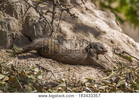 Common dwarf mongoose in Kruger national park, South African ; Specie Helogale parvula family of Herpestidae
