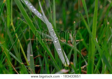 Green Grass Macro Close Up With Water Drops