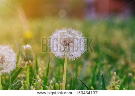 mature dandelion. Spring background. Green grass. softfocus taraxacum wildflower wish blowball blue