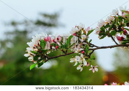 Apple Blossom On A Tree Against The Sky