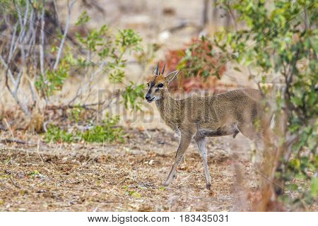 Grey reedbuck in Kruger national park, South African ; Specie Pelea capreolus family of Bovidae