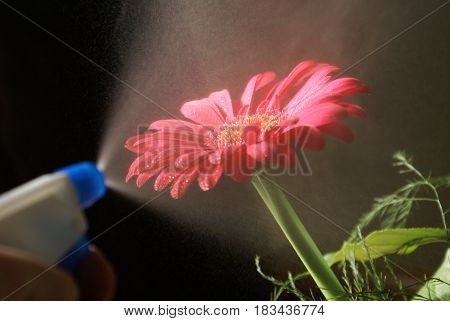 A gardener water mists a gerber to keep the flower vibrant and healthy.