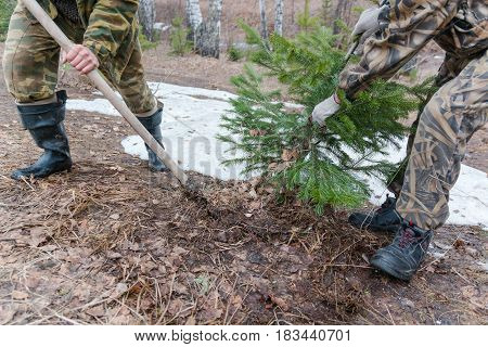 To Dig Out A Coniferous Tree. Change Of A Tree.