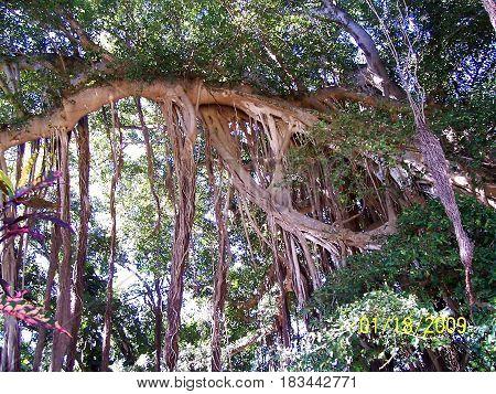 Banyan Tree Roots in  Maui Hawii Jungle