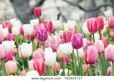 Colorful tulips grow and bloom in close proximity to one another.
