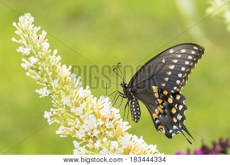 Black Swallowtail butterfly pollinating a white Buddleia flower