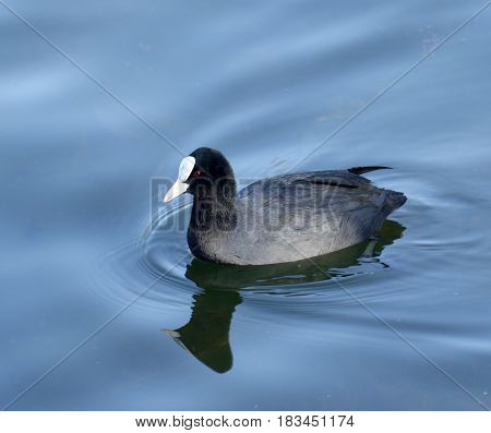 Coot ( fulica atra) over the water background
