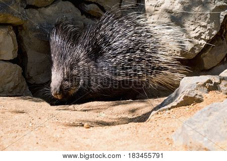 Porcupine with prickle. Nocturnal animals Malayan porcupine Hystrix brachyura in nature