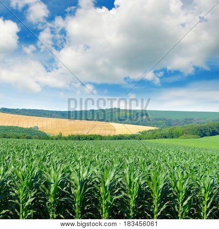 Corn field in picturesque hills and white clouds in the blue sky.