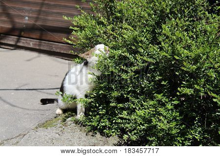 cat basks in the arms of boxwood soaking up the sun