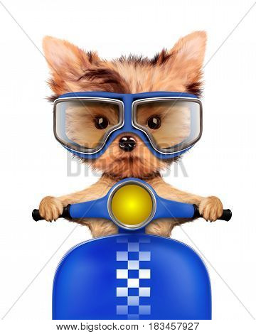 Funny adorable puppy sitting on a blue motorbike and wearing aviator goggles, isolated on white. Delivery concept. Realistic 3D illustration of yorkshire terrier with clipping path