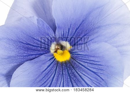 Single flower of blue garden pansy on white background close up
