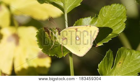 Close up of Common Emigrant or Lemon Emigrant butterfly in nature