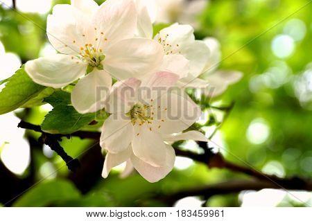 белые распустившиеся цветы яблони весной в солнечный день