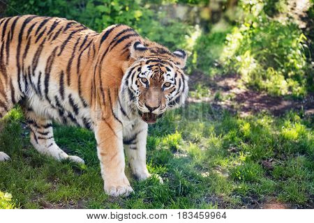 Portrait of a Siberian tiger tiger with an open mouth chews grass