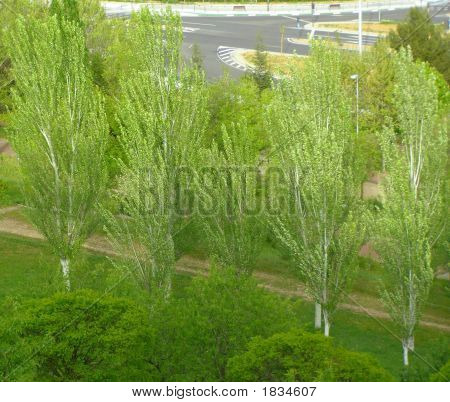 Windblown Poplars Big Stock