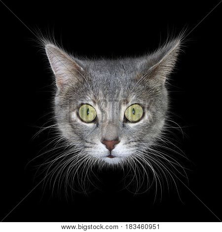 Photo illustration of a gray cat head with green eyes and long whiskers isolated against a black background.