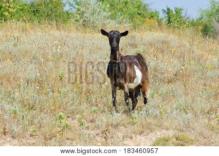 Lonely goat female on a fall pasture.