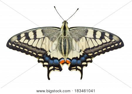 Old World Swallowtail (Papilio machaon) butterfly isolated on white background.