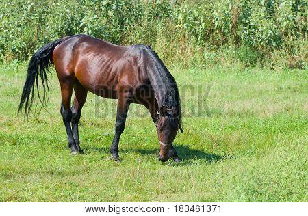 Bay horse (stallion) on the summer pasture .