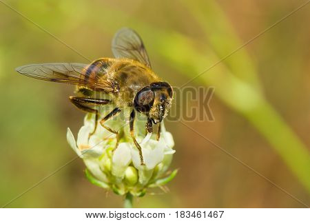 Species of fly similar to bee getting nectar from the summer flower.