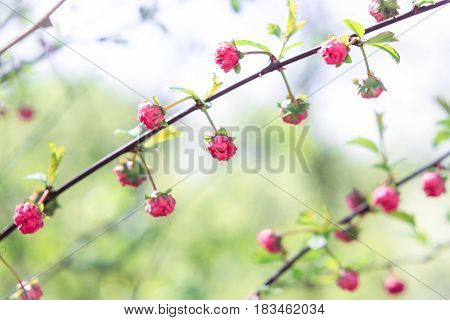 Buds of small pink flowers on a green background