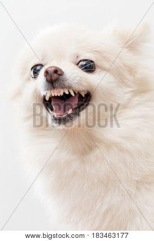 Pomeranian feeling angry