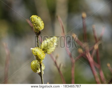 Branch of blossoming willow with catkins on bokeh background selective focus shallow DOF.