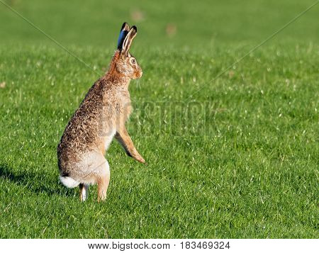 Hare in the meadow, keeps close eye on the photographer