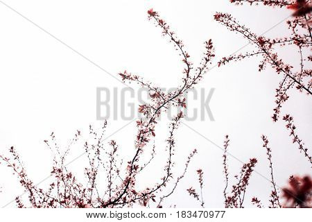 Inflorescence of burgundy branches with leaves on a white background