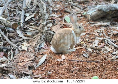 Brown Rabbits are in the wild in the dry season.