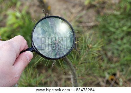 The gardener evaluates the shape of the trunk and pine branches through a magnifying glass / creating a bonsai in the garden