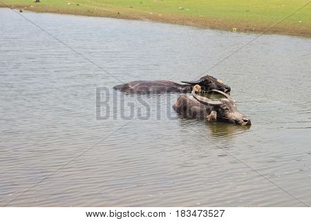 Buffalo lived in the water during the day.
